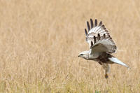 ケアシノスリの居る風景 - 鳥待ち写真日記