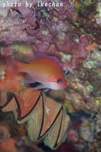 1匹だけっていうのが~ケラマハナダイ幼魚~ - 池ちゃんのマリンフォト