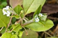 今年の1番花,キュウリグサ - 楽餓鬼