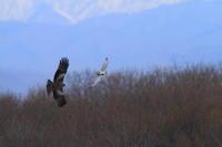 コミミズク空のギャング現る - 気まぐれ野鳥写真