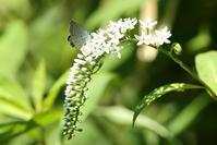 オカトラノオ:蝶が好む花(2011-2016) - Butterfly & Dragonfly