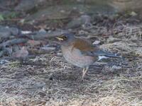 遊水地のシロハラ - コーヒー党の野鳥と自然 パート2