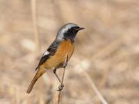 渡良瀬遊水地のジョウビタキ - コーヒー党の野鳥と自然 パート2
