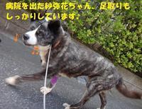 紗弥花ちゃん、一時退院しました♪ - もももの部屋(怖がりで攻撃性の高い秋田犬のタイガ、老犬雑種のベスの共同生活&保護活動の記録です・・・時々お空のモカも登場!)