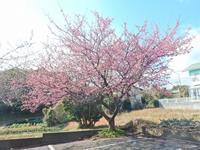 河津桜まつり2月10日から - 白壁荘だより  天城百話