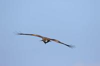 トビ至近の狩り - 気まぐれ野鳥写真