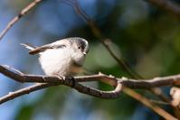 久し振りのエナガと樹上のハッカチョウ - デジタルカメラで遊ぶ 気まぐれ備忘録