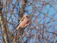 ポカポカ陽気のベニマシコ - コーヒー党の野鳥と自然 パート2