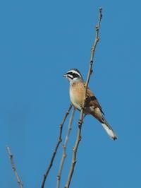 渡良瀬にいたホオジロ - コーヒー党の野鳥と自然 パート2