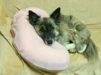 枕使い - 琉球犬mix白トゥラーのピカ