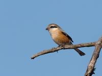 枝先のモズ - コーヒー党の野鳥と自然 パート2