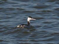 谷中湖のカンムリカイツブリ - コーヒー党の野鳥と自然 パート2