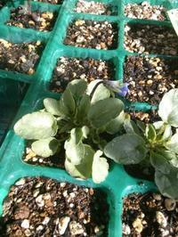 ビオラの蕾 - うちの庭の備忘録 green's garden