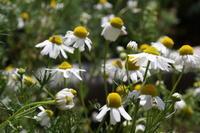 ハーブティー:お花見ブレンド「WINTER」「GREEN」 - 英国メディカルハーバリスト