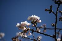 早咲きの桜&盛りの梅 - しあわせ色のスケッチ