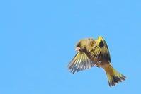 カワラヒワの飛び付き - 上州自然散策2
