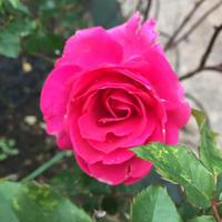 今週中に冬剪定の予定です。 - 春&ナナと庭の薔薇