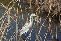 黒目川のダイサギ Great White Egret - 素人写人 雑草フォト爺のブログ
