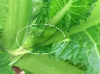 祝蕾の芽 - 3F garden(屋根付屋外水耕)