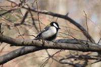■きょうの鳥さん17.2.7(シジュウカラ、シロハラ、ムクドリ) - 舞岡公園の自然2