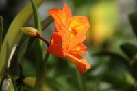 オレンジ色が鮮やかな小型のカトレヤ - 神戸布引ハーブ園 ハーブガイド ハーブ花ごよみ