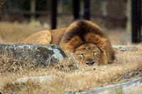 夕陽とライオン - 動物園放浪記