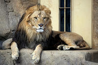 ライオンのファンサービス - 動物園放浪記