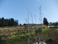 """ジャガイモ...植えました。 - 〔家庭菜園日記〕 """"すろーらいふ"""" 茅ケ崎のはまちゃん. 野菜つくり"""