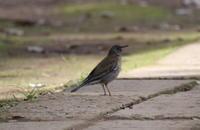 シロハラ - 四季の探鳥