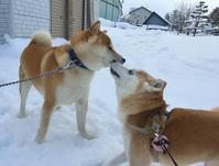 犬とも・ぐんちゃん - 柴犬さくら、北国に生きる