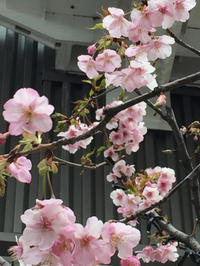 コクーン 桜 - 埼玉でのんびり暮らす