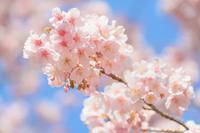 立春 (新宿御苑の寒桜) - View Finder - レンズの向こう側
