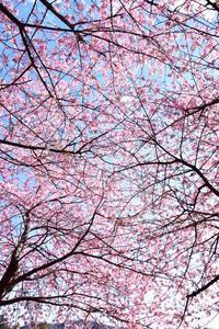 桜色の季節♪ - 今日もカメラを手に・・・♪