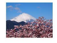 河津桜&富士山&雪景色 - 芽々のちゃぶ台