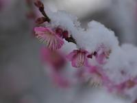 庭の梅たち - 休日登山日記