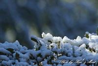 珍しく雪が降ったので・・「雪絡みを・・」 - ケンケン&ミントの鳥撮りLifeⅡ