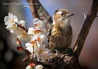 コゲラ:Japanese Pygmy Woodpecker - 動物園の住人たち写真展