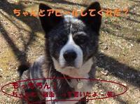 紗弥花ちゃん、公に里親さまの募集を開始しました♪ - もももの部屋(怖がりで攻撃性の高い秋田犬のタイガ、老犬雑種のベスの共同生活&保護活動の記録です・・・時々お空のモカも登場!)