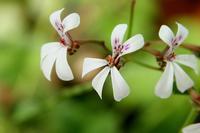 スパイシーな香りのゼラニウム - 神戸布引ハーブ園 ハーブガイド ハーブ花ごよみ
