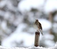 ルリビタキ - 鳥待ち写真日記