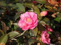 『寒椿(カンツバキ)と斑入八手(フイリヤツデ)と山榛木(ヤマハンノキ)・・・・・』 - 自然風の自然風だより