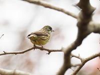 アオジに会えました - コーヒー党の野鳥と自然 パート2