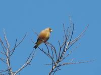 枝先のカワラヒワ - コーヒー党の野鳥と自然 パート2