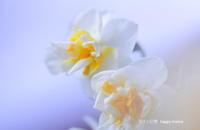 冬と春の狭間で・・ - 花々の記憶  happy momo