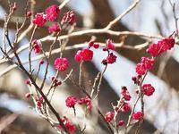 鮮やかな紅梅の花 - 神戸布引ハーブ園 ハーブガイド ハーブ花ごよみ