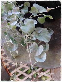 """Dichondra """"Silver fall"""" - Gardener*s Diary"""