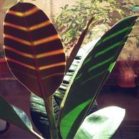 ミドリ日記:しましまゴムの木 - pantaya2_カエルの体操