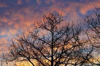 朝焼けとプラタナス - 雲空海