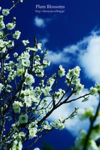 春の使者・・・ - ショーオヤジのひとり言