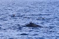 港の前にいる2組の親子クジラホエールスイム - 奄美大島 ダイビングライフ    ☆アクアダイブコホロ☆